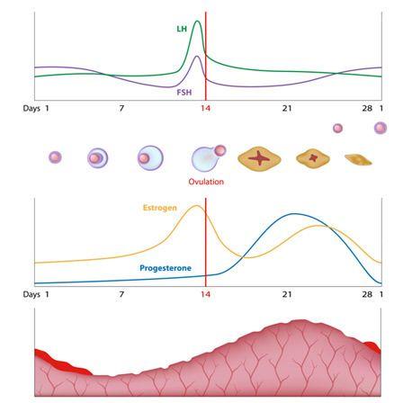 os níveis reduzidos de progesterona