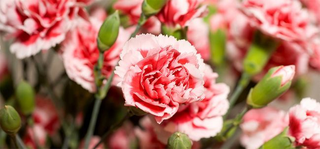 7 flores do cravo mais bonitas Photo