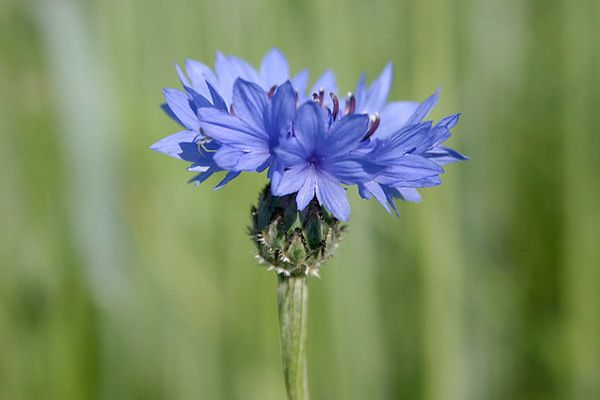 benefícios da pele cornflower