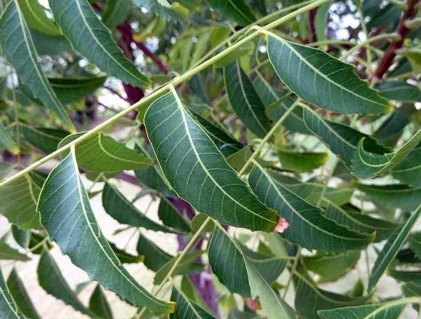benefícios de folhas de nim para a caspa