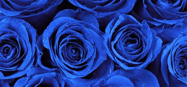 Top 10 Rosas mais belo azul Photo
