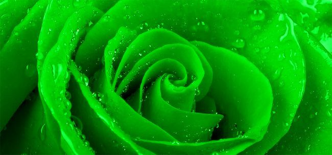 Top 10 Rosas verdes mais bonitas Photo