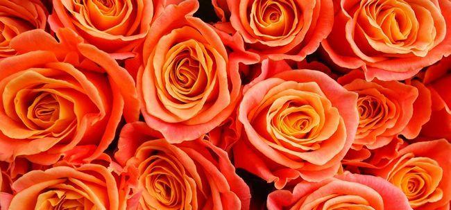 Top 10 rosas alaranjadas Mais Bonita Photo