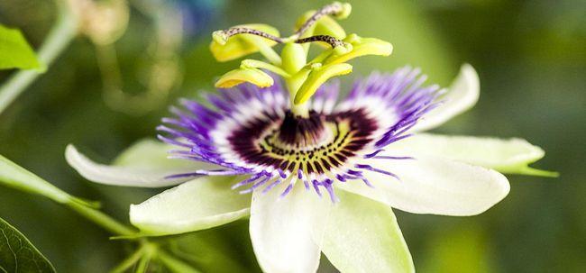 Top 10 Flores da paixão mais bonitas Photo