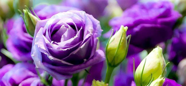 Top 10 Rosas roxas mais bonitas Photo