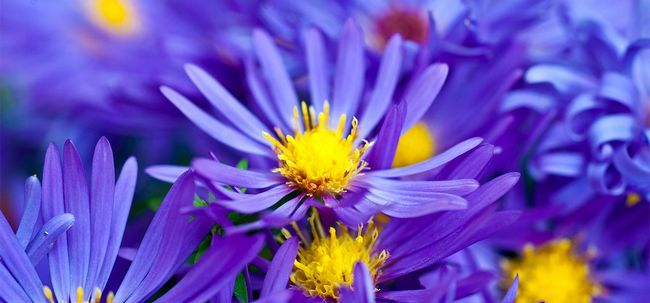 Top 10 flores violetas mais bonitos Photo