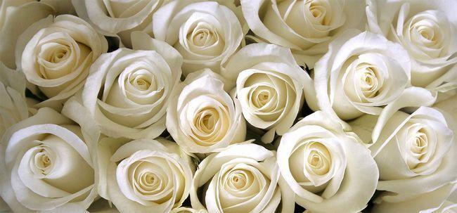 Top 10 mais belas rosas brancas Photo