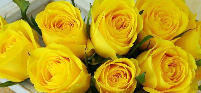 Top 10 das rosas amarelas Mais Bonitas Photo