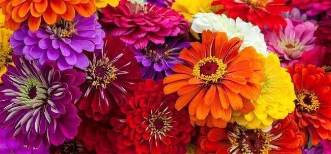 Top 15 Flowers Zinnia mais bonitas Photo