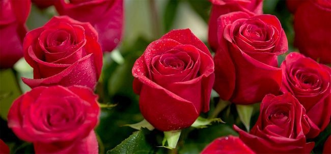 Top 25 Red Roses mais bonitas Photo