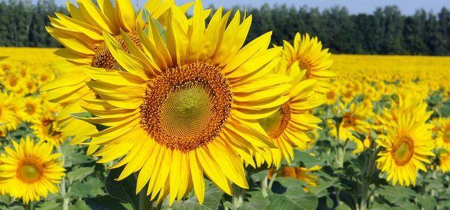 Top 25 Flores amarelas Mais Bonitas Photo